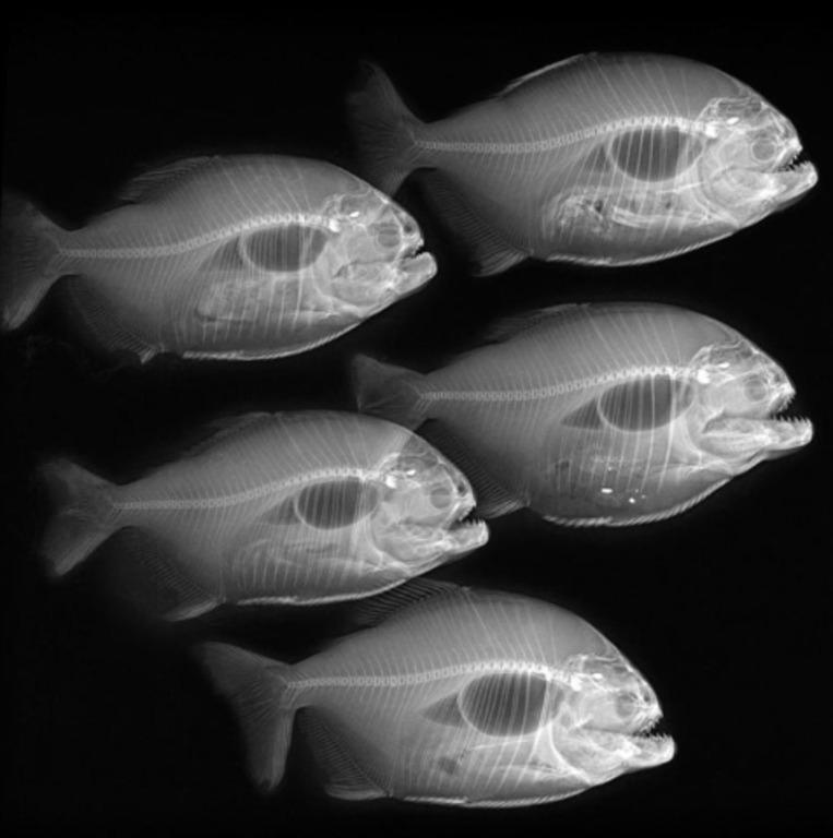 рентген пленка снимок пираньи