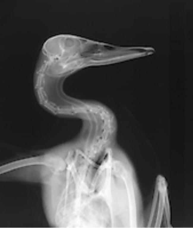 рентген снимок - утка